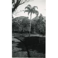 Un palmier colonne au jardin d'essai de Fort-Dauphin