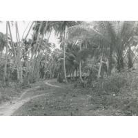 Une cocoteraie, atoll de Makatea