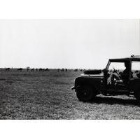 Une land-rover passe en revue un troupeau de gnous dans la plaine