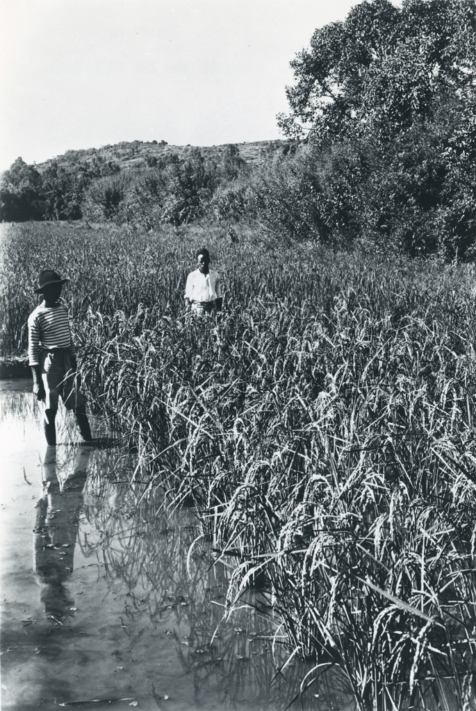 Une rizière au moment de la moisson