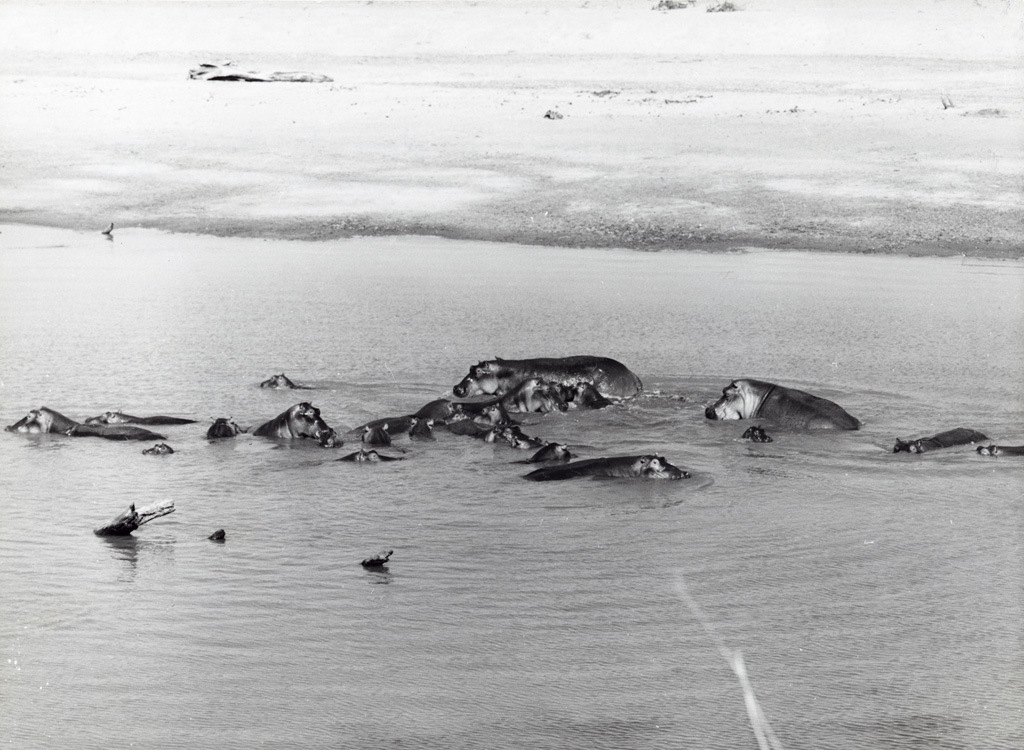 tribu d'hippopotames dans le Zambèze